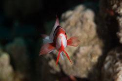 BD-150224-Ras-Mohammed-6538-Pseudanthias-taeniatus-(Klunzinger.-1884)-[Red-Sea-anthias].jpg